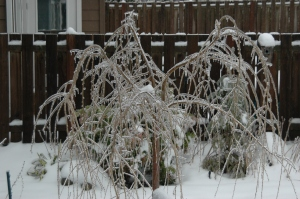 dwarf weeping cherry tree, ice, Seattle, power failure, power outage