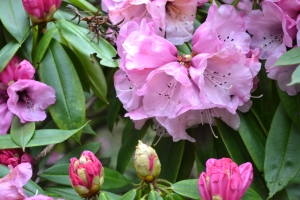 Richard Alan, Rhododendron, Village Drummer Fiction, blog