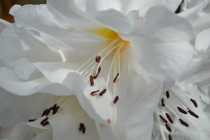 Richard Alan, Village Drummer Fiction, blog, rhododendron